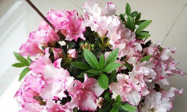 杜鹃花一样养,再也不掉叶,花苞不断冒,花儿开爆盆