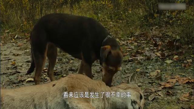 美洲狮抓鱼给狗吃交朋友,这是什么神一般的生物链关系