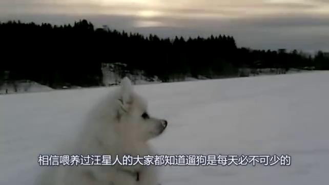 尖嘴银狐犬碰到比它高大的萨摩耶,准备上去干架,结果萨摩不理会