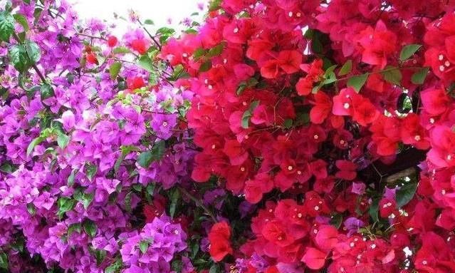有露台就种一三种花,生长速度快,遮阳好养漂亮,花儿开成瀑布