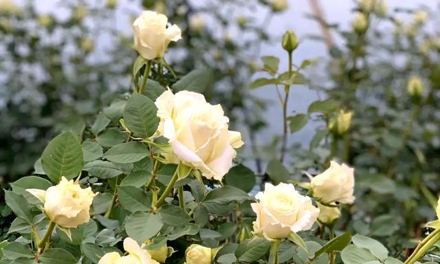 此种常见的水,能改变土壤酸碱性,太合适茉莉月季,花朵又大又仙
