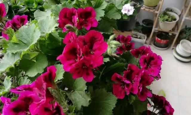 盆栽天竺葵,掌握2个小技巧,开花一茬接一茬,轻松爆盆