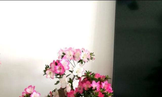 家养杜鹃花用妙招,叶子绿根不烂,花量大,轻松开成花球