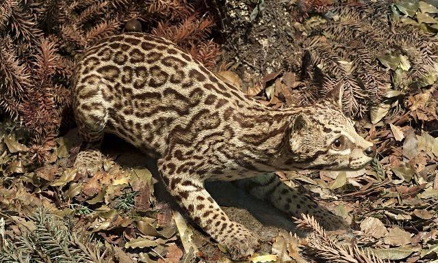 豹猫,身上的斑点有点小恐怖,图六张嘴的看着好凶狠啊!