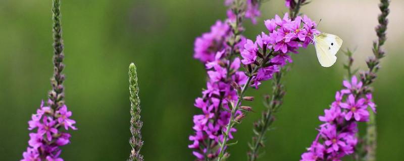 薰衣草怎么收集种子?考拉园艺网带你了解薰衣草收集种子的方法