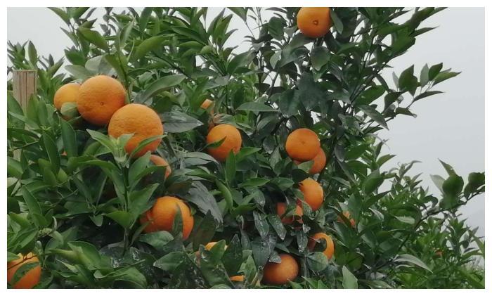 被顺带回来的沃柑成为最火的柑橘水果,墨科特和茂谷柑别提多郁闷