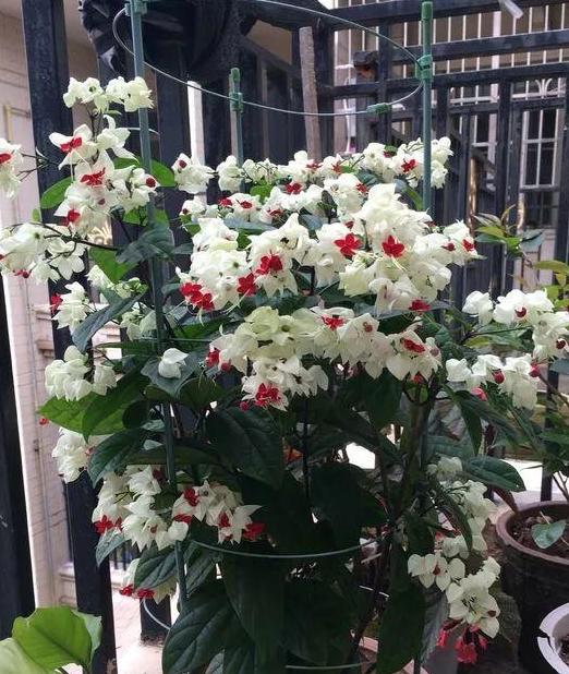 """1种花爬藤比绿萝快,半年长3米,开花吐""""珠子"""",一次几百朵!"""