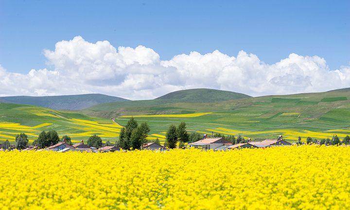 青海省 海北藏族自治州 青石嘴镇油菜花区