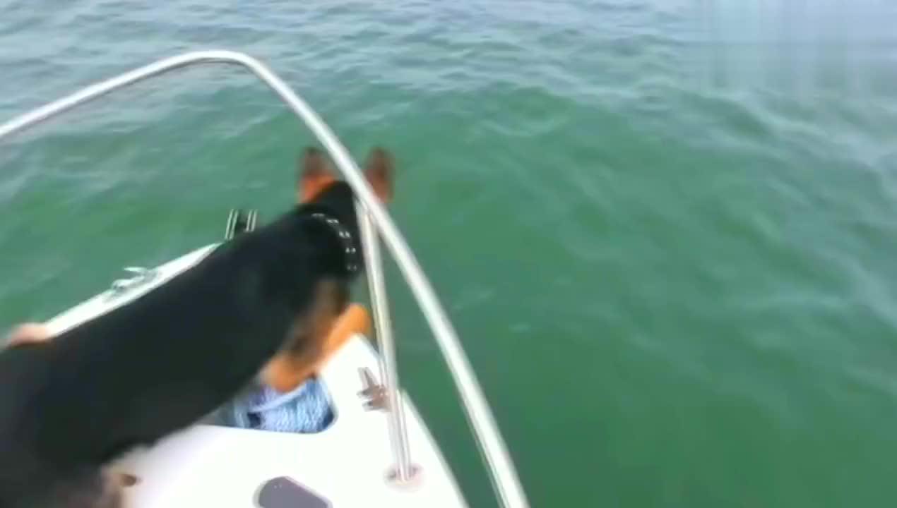 """主人带德牧出海,它却发现了条""""大鱼"""",结果还跳海里去了"""