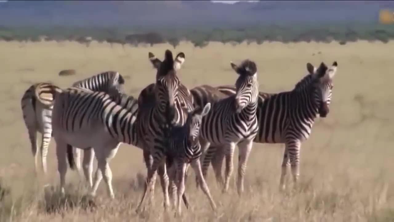 斑马妈妈保护自己的孩子,疯狂的同伴想要杀死小斑马