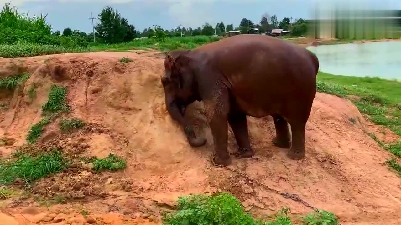 可怜的小象没有自由,与妈妈分开!脚被铁链束缚,只能玩玩泥巴