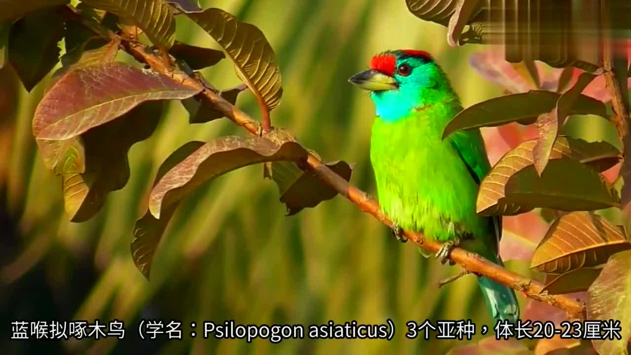 蓝喉拟啄木鸟,在中国分布区域狭小,种群不普遍
