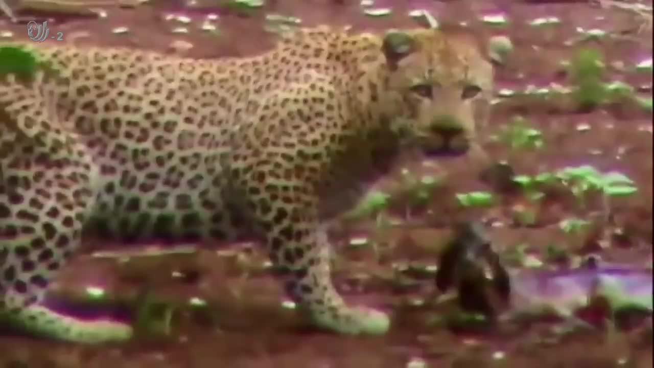 幼崽是有多大的吸引力,狮子猎豹都不忍吃掉它,大自然也有爱