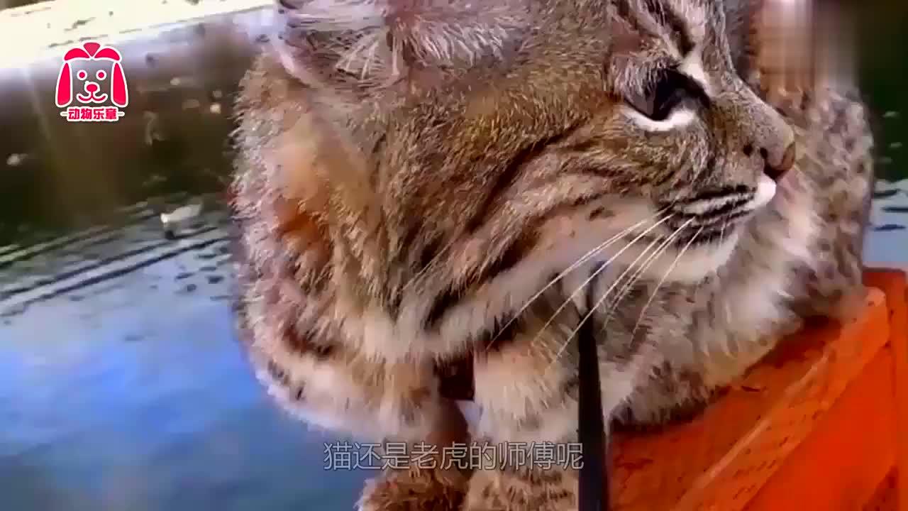 老虎遇上可爱猫咪,瞬间就失去王者风范,表情好逗