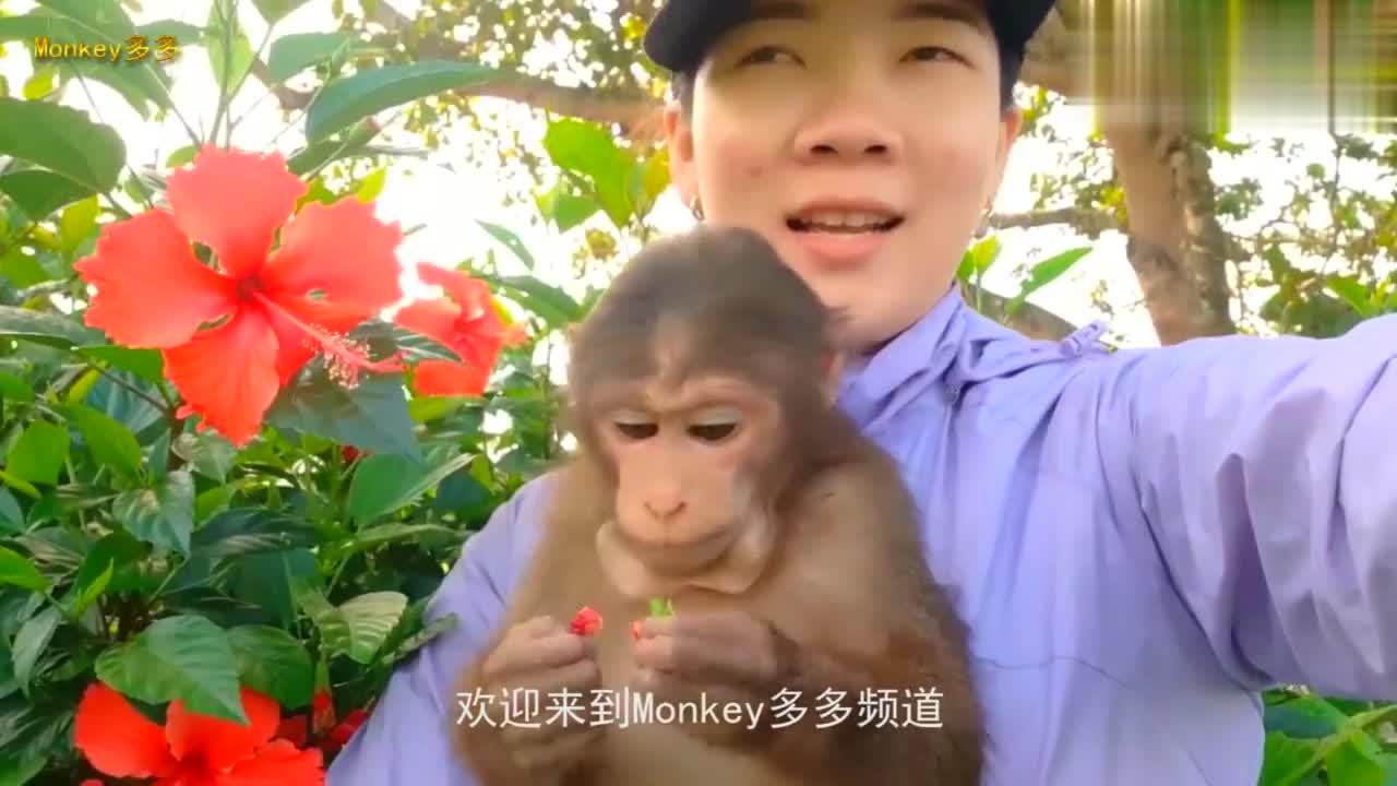 主人带着小猴子出来玩,小家伙好奇的很,看见什么东西都想尝尝