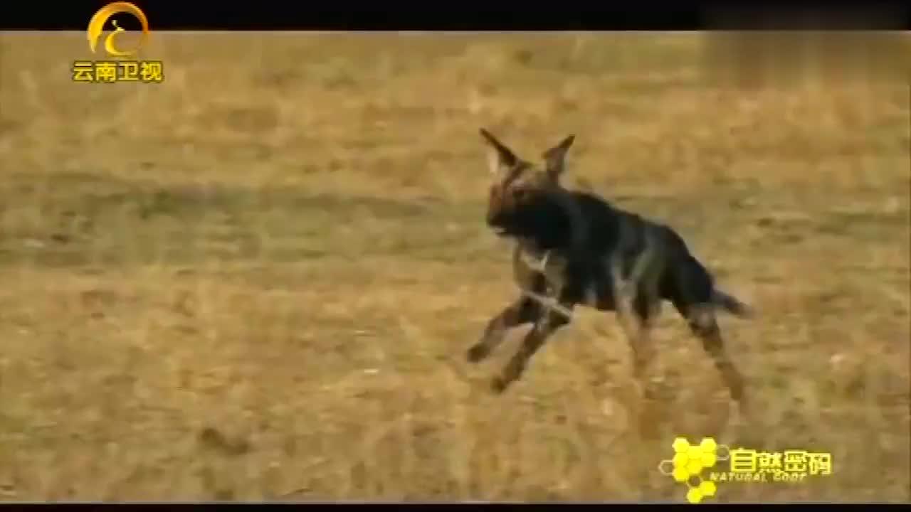 野犬游过河对岸,捕杀掉队的黑斑羚,镜头记录了全过程!