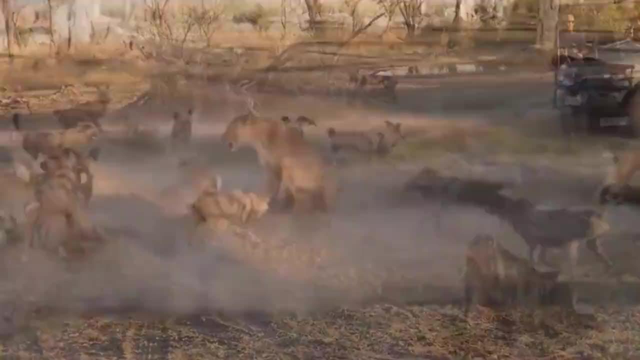 17只野狗将狮子母子包围,狮子紧盯着一个咬,最终杀死一只示威!