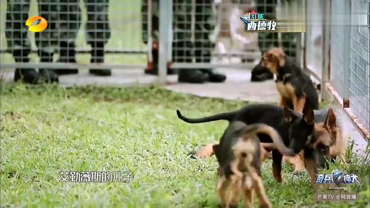 艾勒薇斯一直找狗干仗,张馨予失望落泪,直接把它当反面教材!