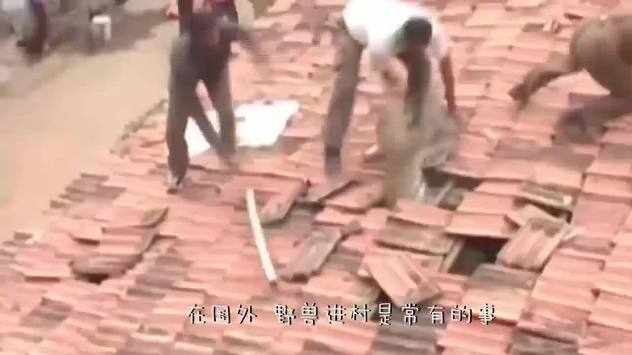 豹子闯入居民区,在楼道里上蹿下跳,镜头拍下惊险的一幕