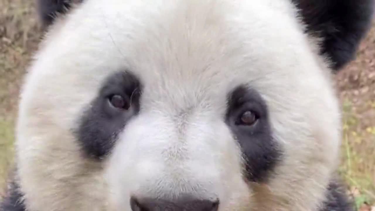国宝大熊猫出道练习生,第一天就爱上了南瓜,蠢萌到犯规!