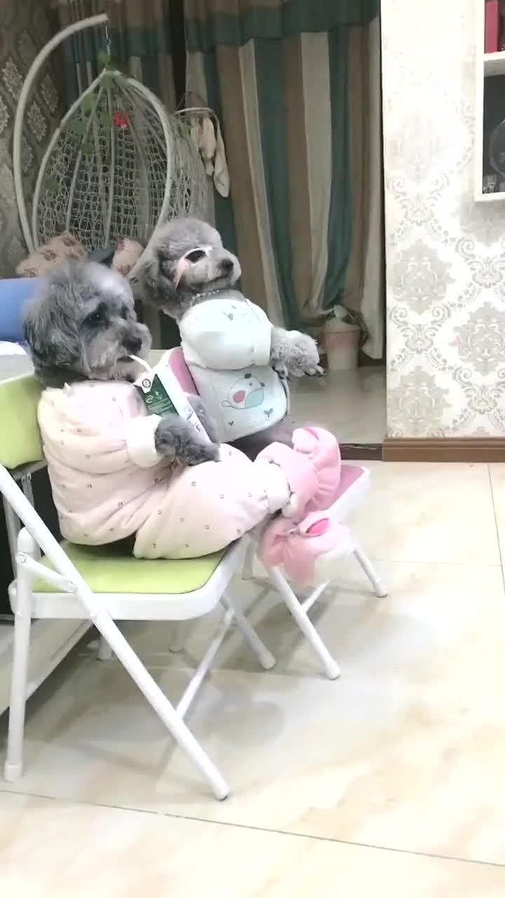 狗狗坐在凳子上看电视就算了,还知道抖腿,你咋不上天呢?