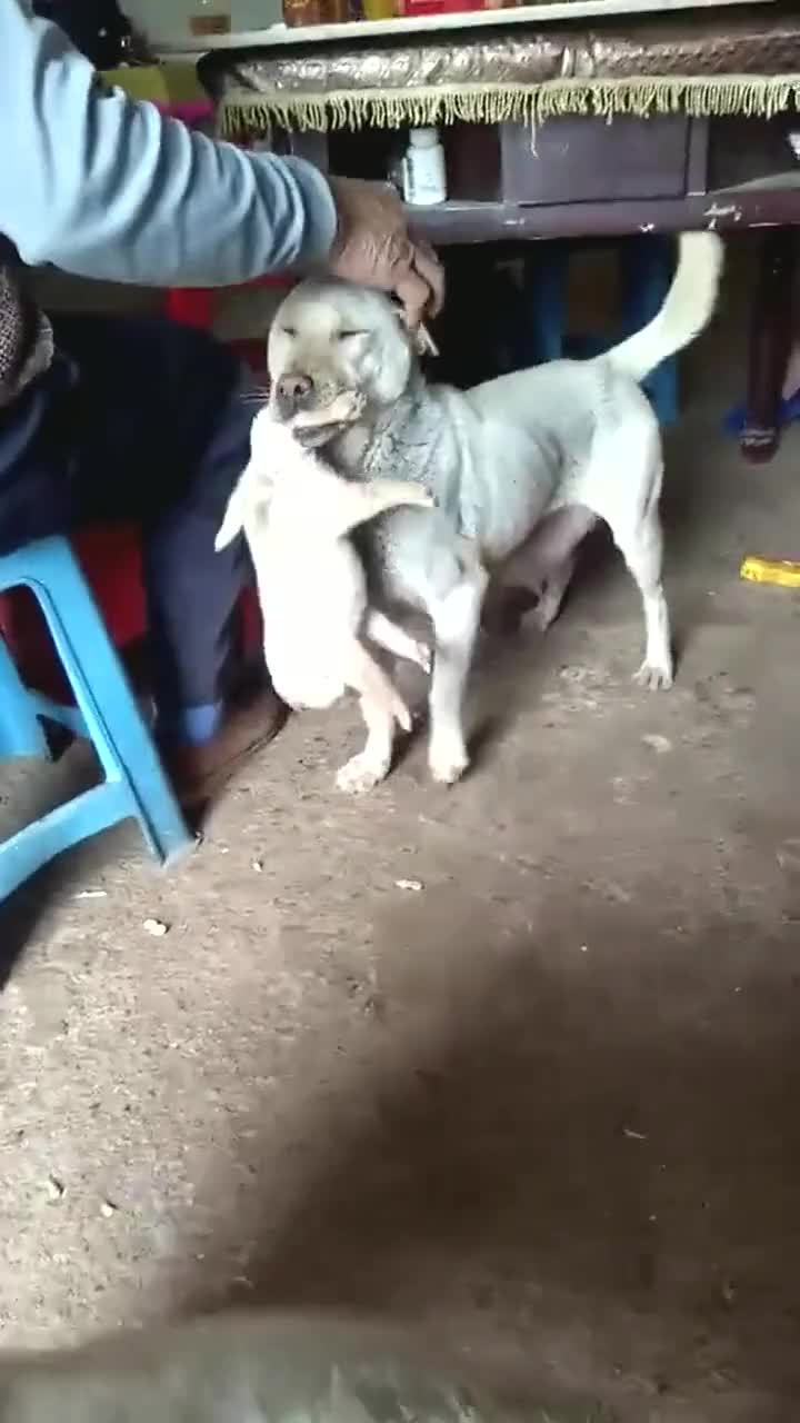 狗妈妈怕别人伤害小狗,一直叼着它不肯放,这就是母爱