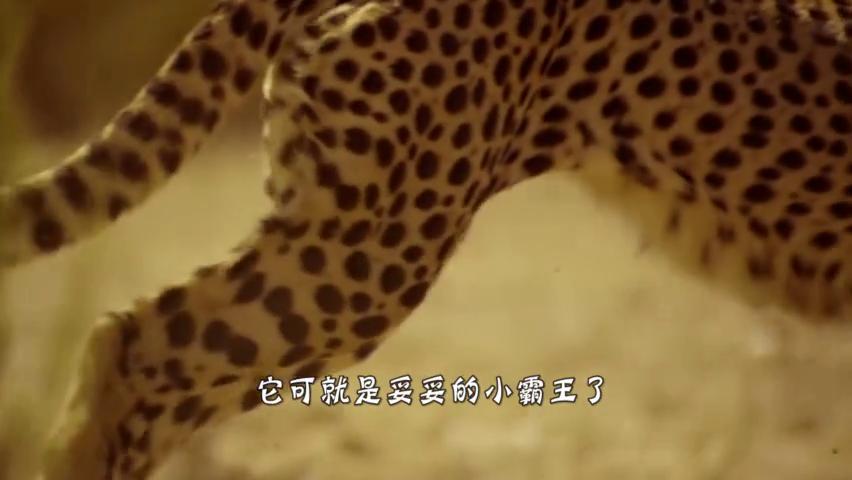 豹子撕咬去世斑马,怎料斑马喷出血水,豹子:吓死老子了!