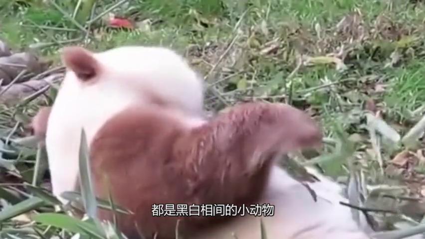 贵族中的VIP,全世界唯一的棕色大熊猫,神奇!