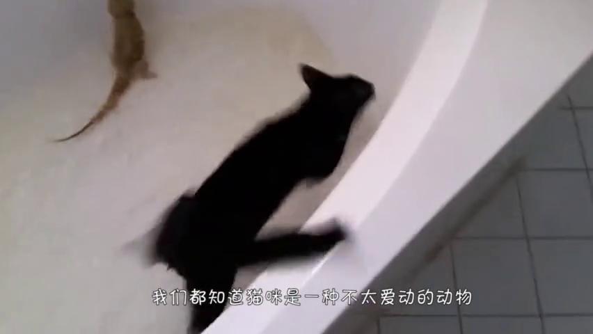 激光笔捉弄猫咪,猫咪险些内讧,网友:太可爱了!