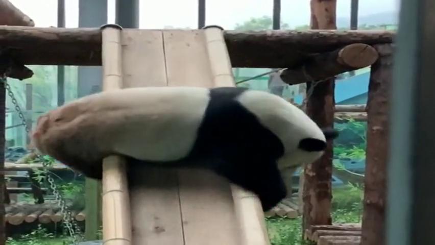 知道为什么大熊猫是国宝了吧,凭这带呆萌的形体,就能火!