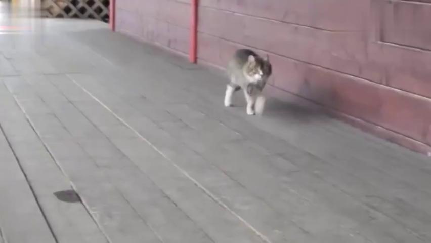 这只与小老虎长大的猫咪,走起路来六亲不认,派头十足好霸气