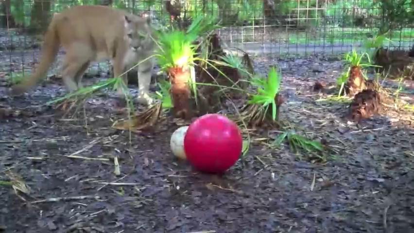 大猫动物的叫声,哪一种更有魄力?