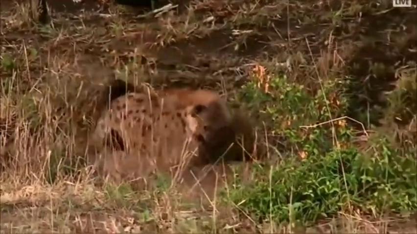 当鬣狗在种群被孤立,每天一天安分日子,天天被欺负的一身伤