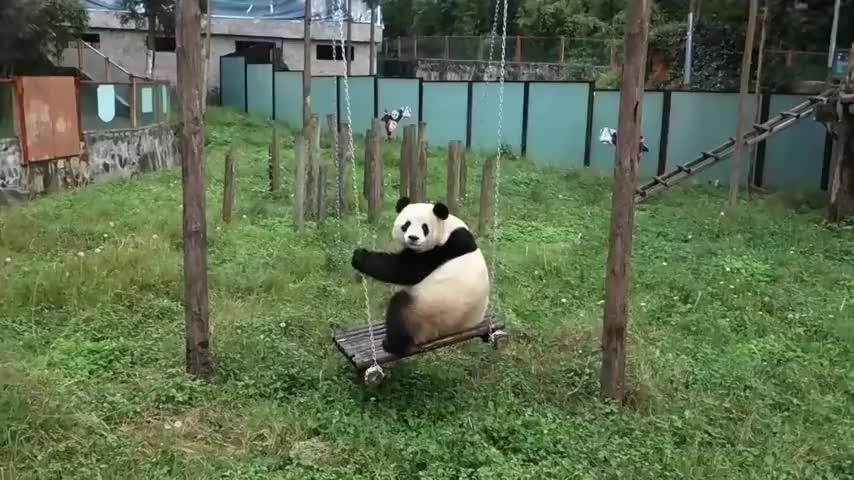 熊猫在荡秋千,一回头看到有人在看它,立刻即兴表演起来