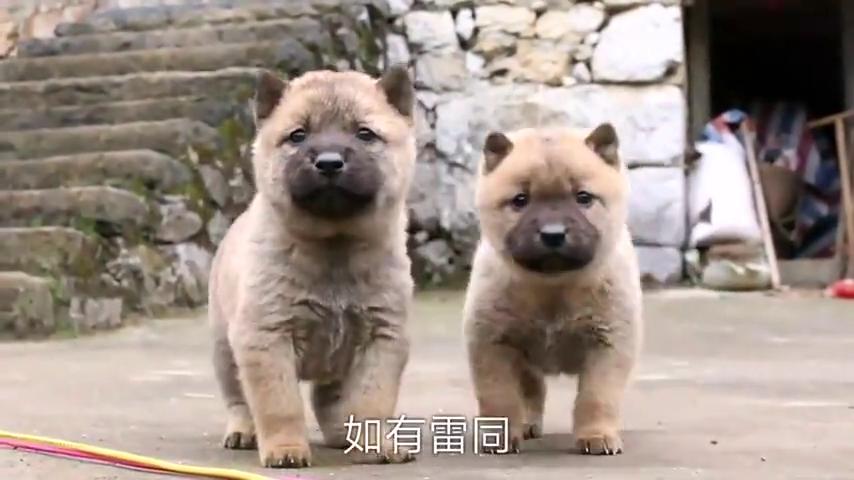 田园犬小奶狗,这两只长相简直是复制粘贴,相似度太高怎么区分?