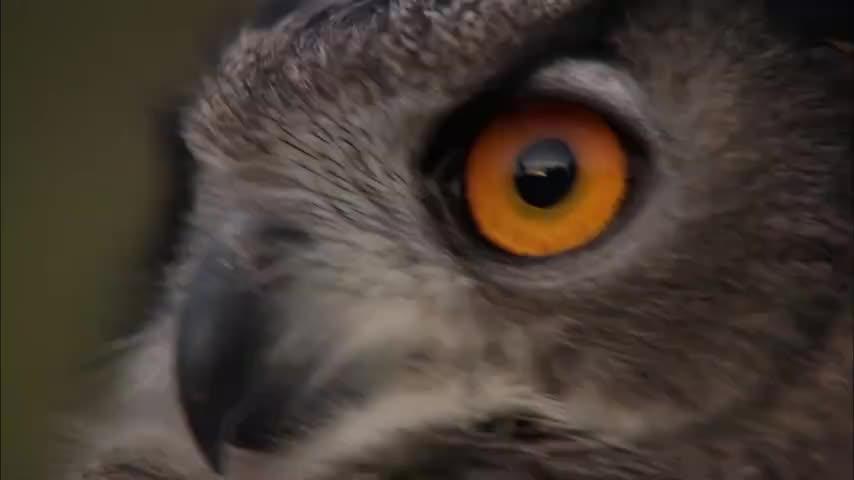 刺猬被雕鸮抓住,本以为一身硬刺可以躲过一劫,结果惨被撕成碎片