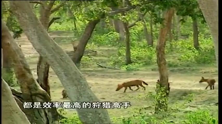 这些红犬有着可爱的外表,但是确是食肉动物