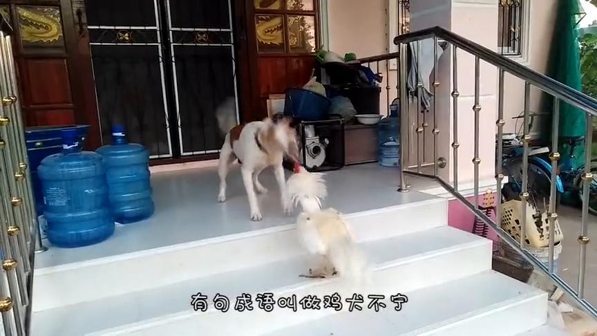 小奶狗第一次见到小鸡,跑上去就想舔上一口,下一秒憋住不要笑
