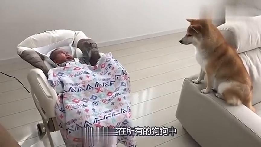 妈妈上班去了,把孩子丢给柴犬,狗子:带孩子的日子真苦啊!