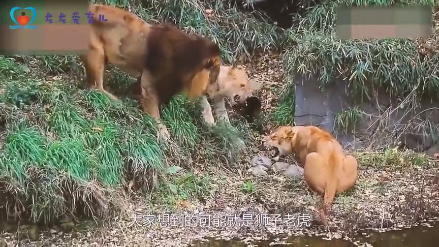 好惊险,狗狗被花豹活着叼上树,幸亏人类的解救
