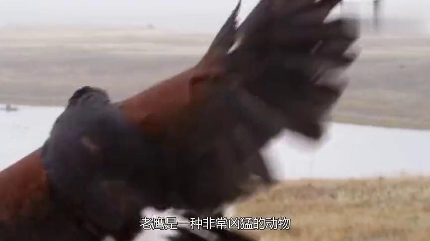 """老鹰把小豹子抓走,母豹救子心切一跃而起将老鹰瞬间撕成""""碎片"""""""