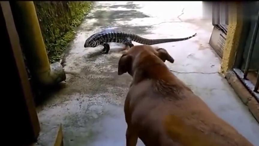 狗遇到巨蜥,场面一度失控,结果让人无法想象