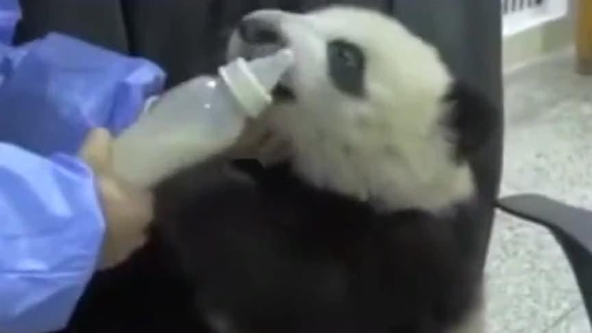 熊猫到底有多可爱?必须让人抱着喝奶,原谅我不厚道的笑了!