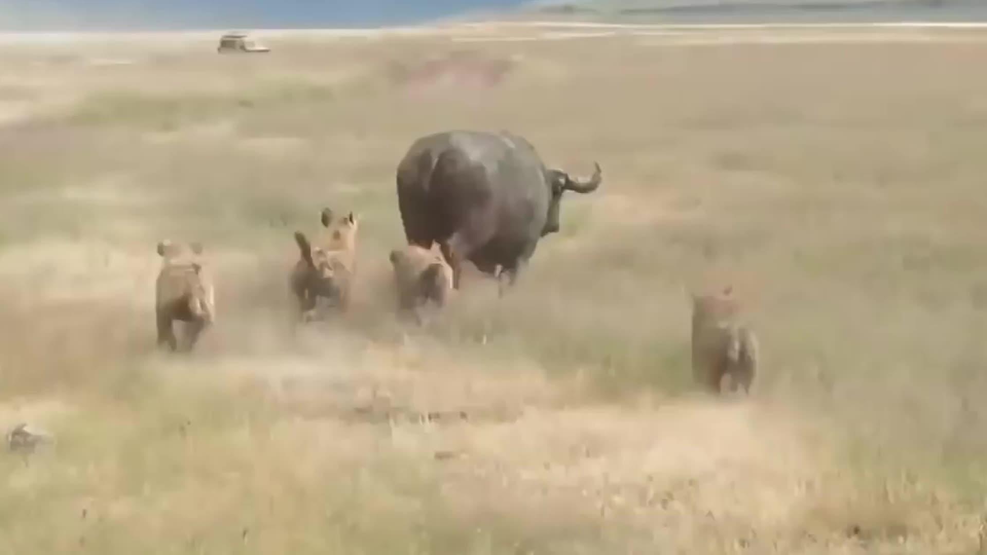 鬣狗想掏肛犀牛,怎料犀牛却一点不怕,鬣狗:不锈肛,快跑!