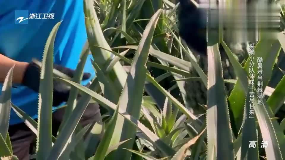 只为那超美的甜,马苏跟羽泉酷暑下采摘菠萝不退缩!坚持就是胜利