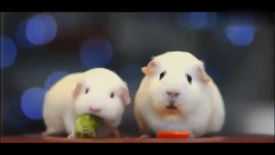 两只小豚鼠确定关系后,突然发现女盆友超能吃!