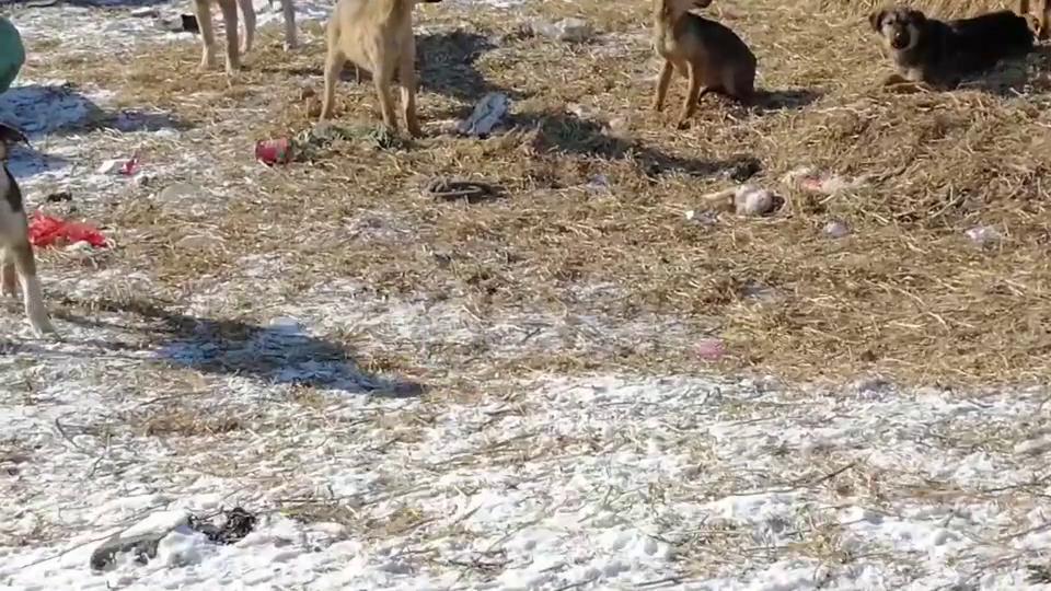 同类相残,大土狗咬死吃掉小狗崽