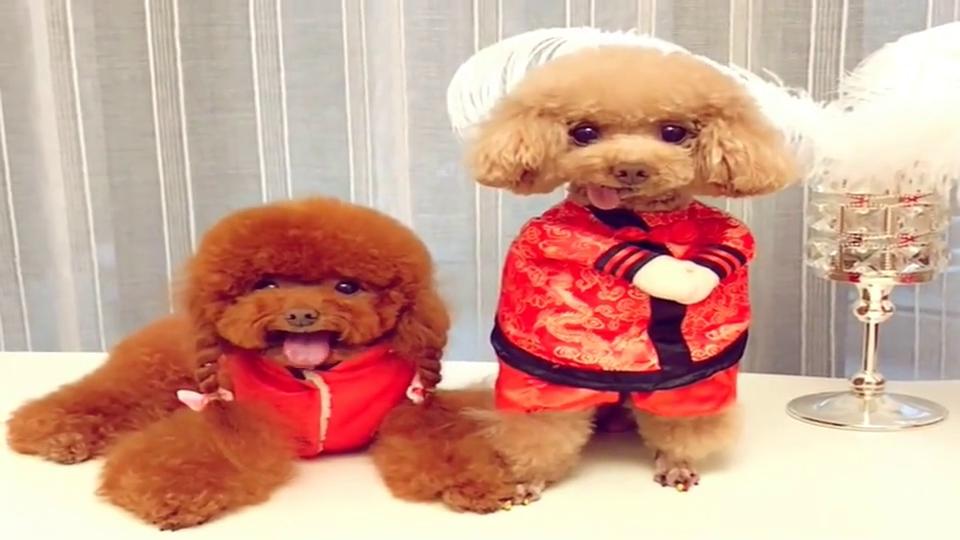两只泰迪拍春节艺术照片,两个小舌头一起吐,太可爱了