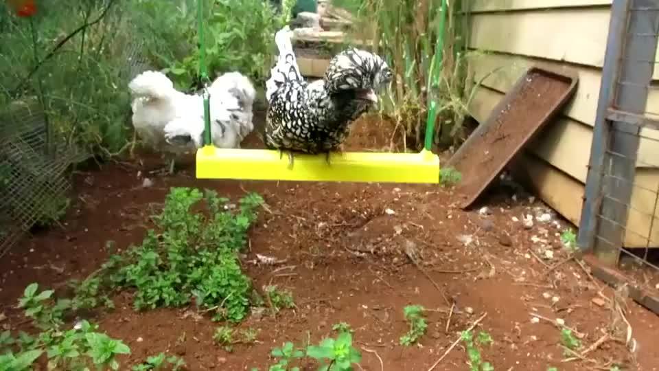 """一只波兰鸡荡秋千,它的伙伴都急了,真是鸡中的""""战斗机""""!"""