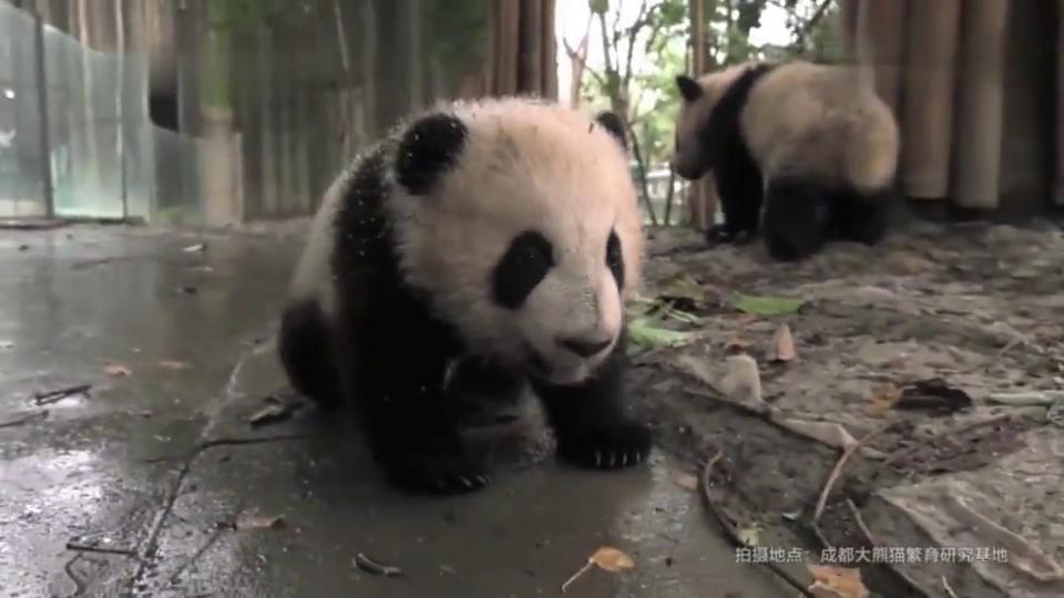 熊猫金玉:小金鱼哼歌,小奶音太萌了,多才多艺的小宝宝!